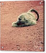 A Baboon On African Road Acrylic Print