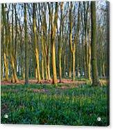 A Badbury Clump Evening Acrylic Print