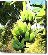A Banana Field In Late Afternoon Sunlight With Sky And Clouds Acrylic Print