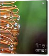 A Banksia Flowers Hold On Water Acrylic Print