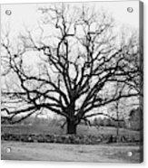 A Bare Oak Tree Acrylic Print