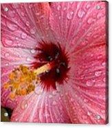 A Bathing Hibiscus Acrylic Print