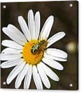 A Beattle On A Daisy Acrylic Print