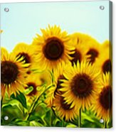 A Beautiful Sunflower Field Acrylic Print