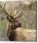 A Beautiful Young Rack Acrylic Print