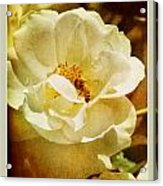 A Bee And Rose Acrylic Print