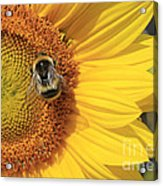 A Bee Gathering Pollen On A Sun Flower Acrylic Print