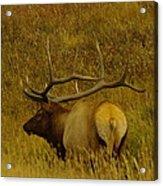 A Big Bull Elk Acrylic Print