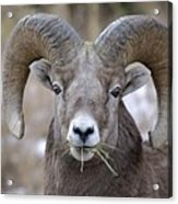 A Big Ram Caught With His Mouth Full Acrylic Print