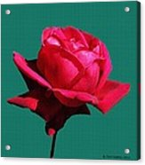 A Big Red Rose Acrylic Print