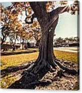 A Big  Tree Trunk Of Long Beach In The Autumn Acrylic Print