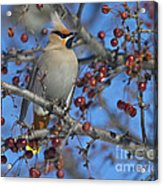 A Bird For Its Crest.. Acrylic Print