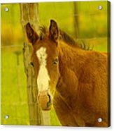 A Blue Eyed Colt Acrylic Print by Jeff Swan