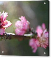 A Bough Of Blurred Peach Blossom Acrylic Print