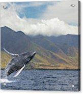 A Breaching Humpback Whale  Megaptera Acrylic Print