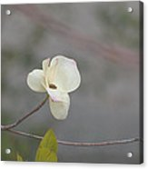 a breath of Dogwood Acrylic Print by Christine Burdine