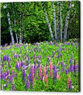A Breathless Moment Among Lupine Acrylic Print