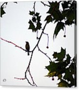 A Brown Thrasher Sings In Sycamore Tree Acrylic Print