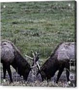 A Bull Challenge Acrylic Print by Sandra Kay