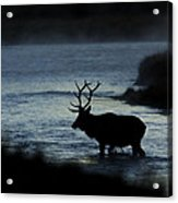 A Bull Elk Crosses The Madison In The Early Morning  Acrylic Print