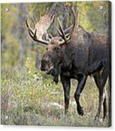 A Bull Moose Named Gaston Acrylic Print