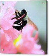 Bumble Bee And Azalea Acrylic Print