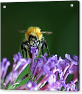 A Bumblebee On Lilac Acrylic Print