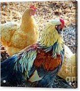 A Bunch Of Chickens Acrylic Print