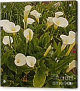 A Bunch Of Easter Sunday Easter Lillies Acrylic Print