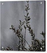 A Bush In Snow Acrylic Print