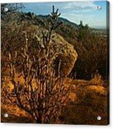 A Cactus In The Sandia Mountains Acrylic Print