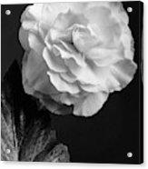 A Camellia Flower Acrylic Print