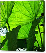 A Canopy Of Lotus Leaves Acrylic Print