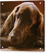 A Close View Of An Irish Setter Acrylic Print
