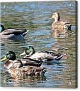A Cluster Duck Acrylic Print