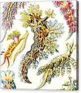 A Collection Of Nudibranchia Acrylic Print