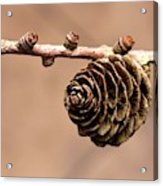 A Conifer Cone On A Tree Branch Acrylic Print