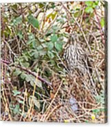 A Coopers Hawk  Acrylic Print