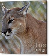 A Cougar In Deep Thought Acrylic Print