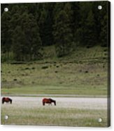 A Couple Of Horses Standing Acrylic Print