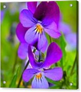 A Couple Of Pansies Acrylic Print