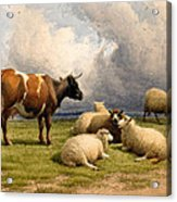 A Cow And Five Sheep Acrylic Print