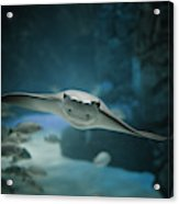 A Crownose Ray Rhinoptera Bonasus Acrylic Print