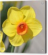 A Daffodil Hello Acrylic Print