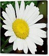 A Daisy If You-do Acrylic Print