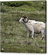 A Dall Ram's Curl Acrylic Print