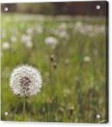 A Dandy Field Acrylic Print