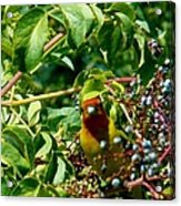 A Day With Mr. Tanager 2 Acrylic Print