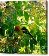 A Day With Mr. Tanager 7 Acrylic Print