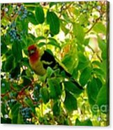 A Day With Mr. Tanager 8 Acrylic Print